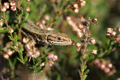 Common Lizard amongst the bell heather - Epping Forest. (ChristianMoss) Tags: viviparous lizard zootoca vivipara reptile eppingforest common outside