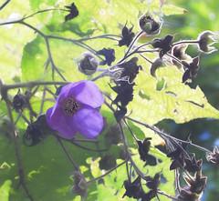 Purple Flowered Raspberry-HSS! (☼☼ Happy Autumn Everyone☼☼) Tags: sliderssunday purplefloweredraspberry shrub large blooming