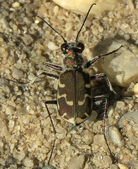 Bronzed Tiger Beetle, Cicindela repanda repanda, Warren Grove Recreation Area, Burlington County, NJ (Seth Ausubel) Tags: carabidae coleoptera cicindelinae