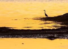 Golden Hour And Heron