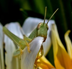 Munch time (rlt64) Tags: bugs grasshoppers spring pollen