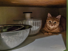 Tabby Cat in the Kitchen Cabinet (jolynne_martinez) Tags: kansascity missouri unitedstates tabby cat cabinet mixingbowl mixingbowls bowls saladspinner hiding sitting orange googlepixel