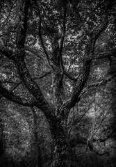 The Dark Tree (donnieking1811) Tags: tennessee kentucky virginia cumberlandgapnationalhistoricalpark tree monochrome blackwhite blackandwhite bw hdr canon 60d lightroom photomatixpro
