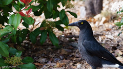 Floriade Crow (garydlum) Tags: crow floriade canberra australiancapitalterritory australia