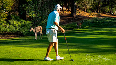 Golfer with local deer (Jeffrey Balfus (thx for 5,000,000 views)) Tags: almaden sonyalpha sanjose california unitedstatesofamerica deer