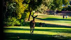 Moving to the next hole (Jeffrey Balfus (thx for 5,000,000 views)) Tags: almaden sonyalpha sanjose california unitedstatesofamerica deer