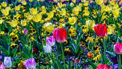 Floriade (garydlum) Tags: floriade canberra australiancapitalterritory australia