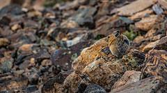 American Pika (El Stevo13) Tags: colorado mt mount mountain elbert highest peak co state elevation altitude american pika rodent rocks boulders hike backpack climb animal
