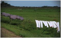 Black & White (LeonardoDaQuirm) Tags: nachhaltig durgerdam wäsche waschen laundry trocknen sustainable drying