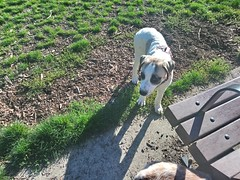 First Day at the Dog Park (Homini:)) Tags: anatolian pyrenese puppy mask dog park play socialization