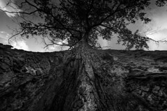 roots (PrashanthSwaminathan) Tags: bw tree wide nikon d750