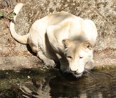 African white lion Ouwehand 094A0212 (j.a.kok) Tags: animal africa afrika afrikaanseleeuw africanlion africanwhitelion afrikaansewitteleeuw mammal zoogdier dier predator pantheraleoleo ouwehands ouwehandsdierenpark ouwehand