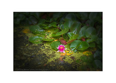 Flowers on Sunday (WS Foto) Tags: flower waterlily seerose teich wasser garden garten rot purple lowkey yellow green gelb grün lila blätter blüte blooming blühend vienna wien botanischergarten botanicgarden