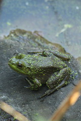 Frog (historygradguy (jobhunting)) Tags: easton ny newyork upstate washingtoncounty frog animal amphibian