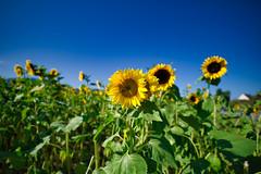 Sunflowers near Kirchzarten Freiburg (TJWest) Tags: irix 15mm blackstone pentax k1 full frame freiburg germany