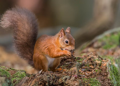 Red Squirrel (ian._harris) Tags: nikon d750 tamron150600mmg2 england zoom telephoto september 2019 autumn britain great gb uk united kingdom outside outdoor day camera photo photography photograph photographer picture capture image snap shot female flickr visit visitor wildlife wild nature natur naturephotography tamron g2 150600 wilde animals life naturaleza redsquirrel rodent eurasian sciurusvulgaris russet tuftedears