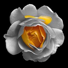 Yellow Rose (Pixel Fusion) Tags: nature nikon flora flower aperture macro d600 photoshop rose