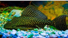 Suckercat (Jojan George K) Tags: aquarium decoration fish beautiful