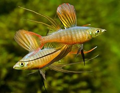 Threadfin Rainbow Fish_1 (Jojan George K) Tags: aquarium decoration fish beautiful