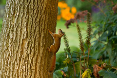 Golden hour red squirrel (Once In Time Photography) Tags: redsquirrel tree squirrel goldenhour warmcolours