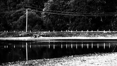 Reflection. Monochrome. (ALEKSANDR RYBAK) Tags: изображения монохромный отражение пруд вода поверхность берег дамба столб провода столбики ограждение деревья пейзаж images monochrome reflection pond water surface coast dam pillar wires bollards fencing trees scenery