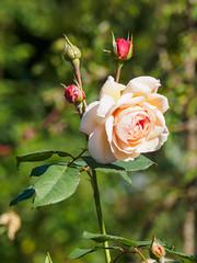 Nymans Rose Garden-G9211982 (tony.rummery) Tags: closeup em10 flower garden mft macro microfourthirds nationaltrust nymans omd olympus rose haywardsheath england unitedkingdom