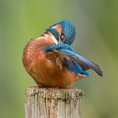 Kingfisher Preening (Glenn.B) Tags: farmoorreservoir nature oxfordshire wildlife kingfisher alcedoatthis bird avian naturereserve