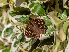 Speckled Wood Butterfly (niloc's pic's) Tags: speckledwood parargeaegeria butterfly lepidoptera insect bexhillonsea eastsussex panasonic lumix dcg9