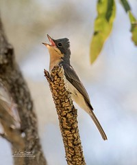 Leaden Flycatcher,female_99A0288 (ozwildbird) Tags: bird flycatcher myiagrarubecula leadenflycatcher