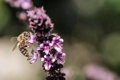 Rotes Basilikum, ein Küchen- und Bienenkraut 015_Web-compressed (berni.radke) Tags: rotesbasilikum basilikum strauchbasilikum küchenkraut bienenkraut biene bee basilie basilienkraut königskraut gewürzpflanze lippenblütler basilic basil bazylia basilicum pszczoła honingbij abeille herbst autumn