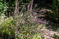 Rotes Basilikum, ein Küchen- und Bienenkraut 007_Web-compressed (berni.radke) Tags: rotesbasilikum basilikum strauchbasilikum küchenkraut bienenkraut biene bee basilie basilienkraut königskraut gewürzpflanze lippenblütler basilic basil bazylia basilicum pszczoła honingbij abeille herbst autumn