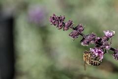 Rotes Basilikum, ein Küchen- und Bienenkraut 005_Web-compressed (berni.radke) Tags: rotesbasilikum basilikum strauchbasilikum küchenkraut bienenkraut biene bee basilie basilienkraut königskraut gewürzpflanze lippenblütler basilic basil bazylia basilicum pszczoła honingbij abeille herbst autumn