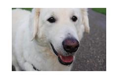 Mogli (balu51) Tags: hund kuvasz morgenspaziergang august 2019 copyrightbybalu5