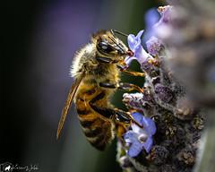 2nd Bee Macro attempt. (pkwebbk70) Tags: bee honeybee lavender spring garden overcastday windyday insect macro