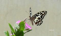 Hurray! We Three Saw It! (Sheuli Hossain) Tags: nature bangladesh lemonbutterfly
