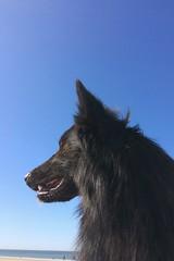 Totoro 🐺 (Jos Mecklenfeld) Tags: noordzee nordsee northsea nederland niederlande netherlands noordholland callantsoog zee meer sea strand beach hond hund dog schäferhund herder herdershond shepherddog shepherd hollandseherder dutchshepherd totoro