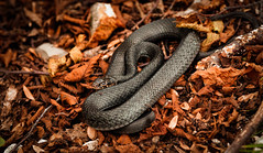 Balck variant of the Green Whip Snake (Agnolo) Tags: nature forest reptile snake wildlife wood autumn fall leaves foliage serpent greenwhipsnake biacco