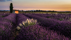 the fan in the field - der Fächer im Feld (ralfkai41) Tags: france landscape landschaft nature sonnenuntergang lavendel natur provence südfrankreich field frankreich flowers blossoms blüten valensole feld southframce lavender sunset blumen