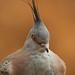 Crested pigeon (Ocyphaps lophotes) - Paignton Zoo, Devon - Sept 2019
