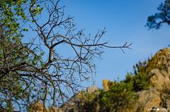 Pinède encore marquée par les incendies (La Pom ) Tags: mimosas cote azur mer méditerannee var bormes les