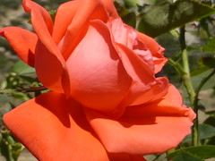 P1060012 (amalia_mar) Tags: rose flora flower fiori fleur garden details closeup colorfulnature contrastingcolorssunday red green sundaylights