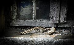 Découverte macabre (balese13) Tags: 100nikon 1855mm berry d5000 nikonpassion saintelizaigne abandonné balese centre fenêtre nikon nikonistes pierre pixelistes ruined ruines squelette yourbestoftoday 500v20f 1000v40f 1500v60f