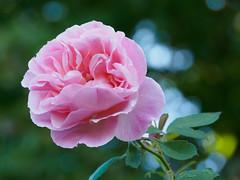 Nymans Rose Garden-G9211986 (tony.rummery) Tags: closeup em10 flower garden mft macro microfourthirds nationaltrust nymans omd olympus rose haywardsheath england unitedkingdom
