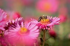 Biene und Bokeh (Enzio H.) Tags: bokeh biene natur farbe samyang fujifilm xh1 fujixh1