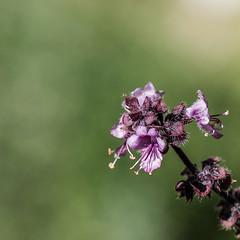 Rotes Basilikum, ein Küchen- und Bienenkraut 009_Web-compressed (berni.radke) Tags: rotesbasilikum basilikum strauchbasilikum küchenkraut bienenkraut biene bee basilie basilienkraut königskraut gewürzpflanze lippenblütler basilic basil bazylia basilicum pszczoła honingbij abeille herbst autumn
