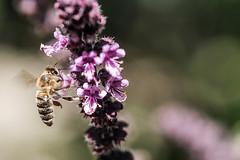 Rotes Basilikum, ein Küchen- und Bienenkraut 014_Web-compressed (berni.radke) Tags: rotesbasilikum basilikum strauchbasilikum küchenkraut bienenkraut biene bee basilie basilienkraut königskraut gewürzpflanze lippenblütler basilic basil bazylia basilicum pszczoła honingbij abeille herbst autumn