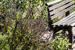 Rotes Basilikum, ein Küchen- und Bienenkraut 008_Web-compressed (berni.radke) Tags: rotesbasilikum basilikum strauchbasilikum küchenkraut bienenkraut biene bee basilie basilienkraut königskraut gewürzpflanze lippenblütler basilic basil bazylia basilicum pszczoła honingbij abeille herbst autumn