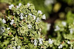 Rotes Basilikum, ein Küchen- und Bienenkraut 006_Web-compressed (berni.radke) Tags: rotesbasilikum basilikum strauchbasilikum küchenkraut bienenkraut biene bee basilie basilienkraut königskraut gewürzpflanze lippenblütler basilic basil bazylia basilicum pszczoła honingbij abeille herbst autumn