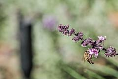 Rotes Basilikum, ein Küchen- und Bienenkraut 003_Web-compressed (berni.radke) Tags: rotesbasilikum basilikum strauchbasilikum küchenkraut bienenkraut biene bee basilie basilienkraut königskraut gewürzpflanze lippenblütler basilic basil bazylia basilicum pszczoła honingbij abeille herbst autumn