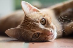 Titus (Nicolas Rouffiac) Tags: chat cat animal félin feline portrait cute mignon roux red